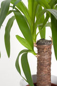 Yucca house plant — Stock Photo