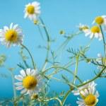 ������, ������: Chamomile Blossoms