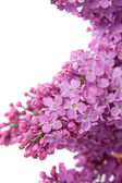 Lilac (Syringa vulgaris) — Stock Photo