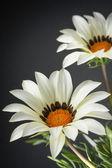 Gazania or treasure flowers — Stock Photo
