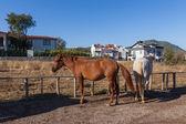 Bílé a hnědé koně na farmě, turecko — Stock fotografie