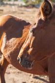 Pferd auf dem bauernhof, türkei — Stockfoto