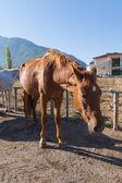 在农场里,土耳其马 — 图库照片