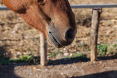 Nose of brown horse — Stockfoto