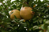 Pomegranates on the tree — Stockfoto