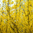 Bushes of blooming forsythia — Stock Photo