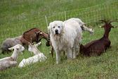 The white sheepdog — Stock Photo