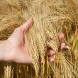Man hands against ear of wheat — Stock Photo