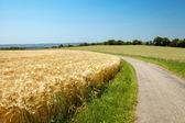 Golden wheat field in France — Foto de Stock