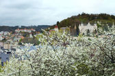 Blooming bushes of cherry in Karlovy Vary — Stock Photo