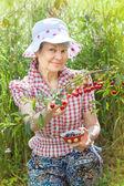 Mature woman harvests cherry berries — Stockfoto