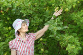 Retiree woman checks  apples on tree — Stock Photo