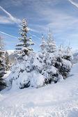 Fir trees in mountain — Stock Photo