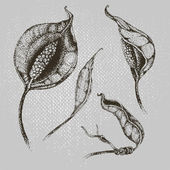 цветок спатифиллум — Cтоковый вектор