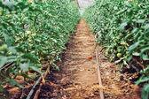 Greenhouse tomato culture — Stok fotoğraf