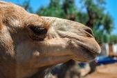 Close up of camel head — Stock Photo