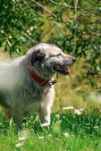 Grey shepherd dog in green grass background — Stock Photo