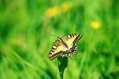 Beautiful butterfly close up and green grass background — Stock Photo