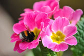 Beautiful pink flower with bee — Stock Photo