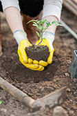 Green house worker hands with protection  gloves and plant — Stock Photo