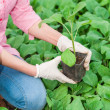 Close up of green house female worker holding a plant — Stock Photo #43504445