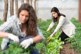 Two  women workers on crop plantation — Stock Photo