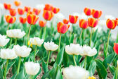 Beautiful red and white tulip flowers — Stock Photo
