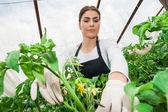 Vidvinkel bild av kvinnlig trädgårdsmästare skörd växter i växthus — Stockfoto