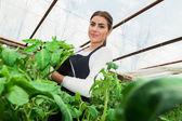 Joven mujer ingeniero comprobación de cultivo de tomate en invernadero — Foto de Stock