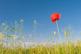 Red poppies against the blue sky — Stock Photo