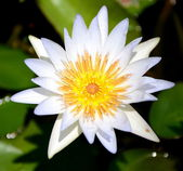 Single white lotus — Stock Photo