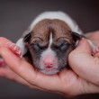 Newborn basenji puppy (first day) — Stock Photo #44539803