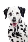 Dalmatian dog, isolated on white — Stock Photo