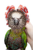 Hawk-headed Parrot (Deroptyus accipitrinus) — Stock Photo