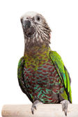 Hawk-headed Parrot (Deroptyus accipitrinus) — Stock Photo