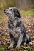 Mixed breed dog in the autumn forest — Stock Photo