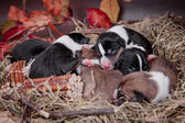 Newborn basenji puppies (first day) — Stock Photo