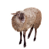 Sheep on the white — Stock Photo