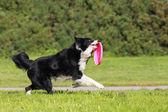 Running border collie — Stock Photo