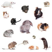 Set different spieces of rodents — Stock Photo