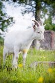 可爱的年轻白山羊 — 图库照片