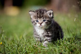 Grey tabby kitten on green grass — Stock Photo