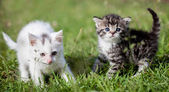 Grey tabby and white kittens on green grass — Stock Photo