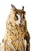 Long-eared Owl isolated on white — Stock Photo