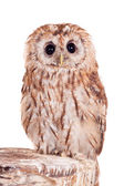 Tawny or Brown Owl isolated on white — Stock Photo
