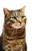 Large adult tabby cat on white — Stock Photo