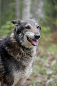 Смешанные породы собака в осеннем лесу — Стоковое фото
