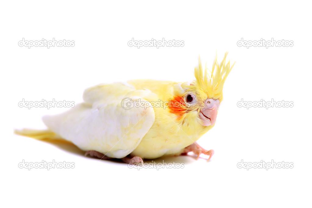 White Baby Parakeet