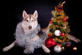 Siberian husky auf dem schwarzen hintergrund — Stockfoto