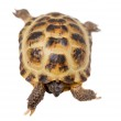 Russian or Central Asian tortoise on white — Stock Photo #49038769